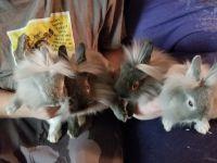 Dwarf Rabbit Rabbits for sale in Salt Lake City, UT, USA. price: NA