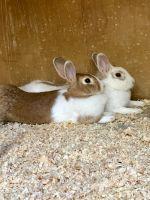 Dwarf Rabbit Rabbits for sale in Anaheim Hills, Anaheim, CA, USA. price: NA