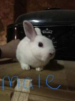 Dwarf Rabbit Rabbits for sale in Shoemakersville, PA, USA. price: NA