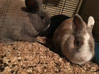 Dwarf Rabbit Rabbits for sale in Mather, CA 95655, USA. price: NA