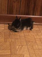 Dwarf Rabbit Rabbits Photos
