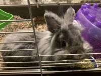 Dwarf Rabbit Rabbits for sale in Marengo, IL 60152, USA. price: NA