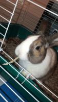 Dwarf Rabbit Rabbits for sale in 2526 E 8th St, Davis, CA 95618, USA. price: NA