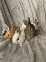 Dwarf Rabbit Rabbits for sale in Los Angeles, CA, USA. price: NA