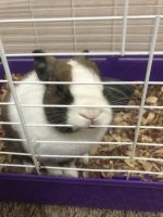 Dwarf Rabbit Rabbits for sale in 2606 Eastwood Ln, Round Rock, TX 78664, USA. price: NA