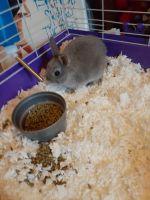 Dwarf Rabbit Rabbits for sale in Suffolk, VA 23435, USA. price: NA