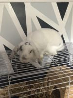 Dwarf Rabbit Rabbits for sale in Derry, NH 03038, USA. price: NA