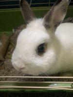 Dwarf Rabbit Rabbits for sale in Warrington, PA 18976, USA. price: NA