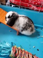 Dwarf Rabbit Rabbits for sale in Chattanooga, TN, USA. price: NA