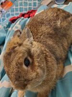 Dwarf Rabbit Rabbits for sale in 13508 Haslet Ct, Haslet, TX 76052, USA. price: NA