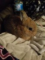 Dwarf Rabbit Rabbits for sale in Chapmansboro, TN 37035, USA. price: NA