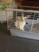 Dwarf Rabbit Rabbits for sale in 7 Beakes St, Trenton, NJ 08638, USA. price: NA
