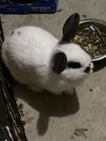 Dwarf Rabbit Rabbits for sale in Flowery Branch, GA, USA. price: NA