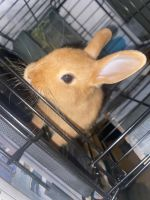 Dwarf Rabbit Rabbits for sale in Williamsburg, VA, USA. price: NA