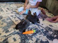 Dwarf Rabbit Rabbits for sale in Wahiawa, HI 96786, USA. price: NA