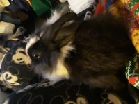 Dwarf Rabbit Rabbits for sale in Temple, PA 19560, USA. price: NA