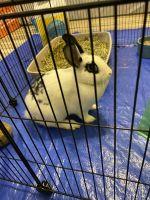 Dwarf Rabbit Rabbits for sale in Navarre, FL 32566, USA. price: NA