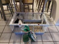 Dwarf Rabbit Rabbits for sale in Miami, FL 33189, USA. price: NA