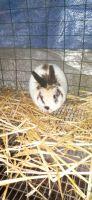 Dwarf Rabbit Rabbits for sale in Thurston County, WA, USA. price: NA