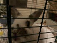 Dwarf Rabbit Rabbits for sale in North Haledon, NJ, USA. price: NA