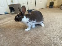 Dwarf Rabbit Rabbits for sale in Greenville, NC, USA. price: NA