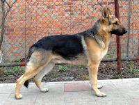 east european shepherd dog