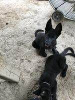 East German Shepherd Puppies Photos