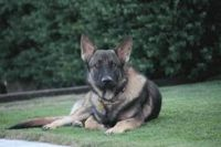 east german shepherd dog