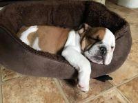 English Bulldog Puppies for sale in Sulphur, OK 73086, USA. price: NA