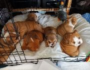 English Bulldog Puppies for sale in Michigan Ave, West Bloomfield Township, MI 48324, USA. price: NA