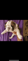 English Bulldog Puppies for sale in Los Angeles, CA, USA. price: NA