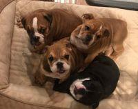 English Bulldog Puppies for sale in Orange, CA, USA. price: NA