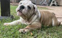English Bulldog Puppies for sale in Tempe, AZ, USA. price: NA