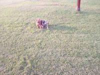 English Bulldog Puppies for sale in 130th St, Oklahoma 73052, USA. price: NA