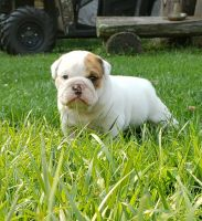 English Bulldog Puppies for sale in Buckhannon, WV 26201, USA. price: NA