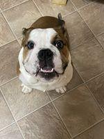 English Bulldog Puppies for sale in Winston-Salem, NC, USA. price: NA