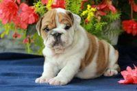 English Bulldog Puppies for sale in Tampa, FL 33610, USA. price: NA