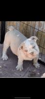 English Bulldog Puppies for sale in Pittsburg, CA, USA. price: NA