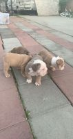 English Bulldog Puppies for sale in 13802 Hawes St, Whittier, CA 90605, USA. price: NA