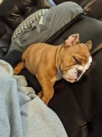 English Bulldog Puppies for sale in Des Moines, IA, USA. price: NA