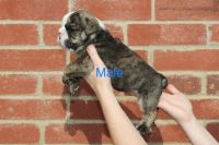 English Bulldog Puppies for sale in Garland, TX 75044, USA. price: NA