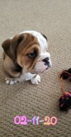 English Bulldog Puppies for sale in Waterloo, NY 13165, USA. price: NA