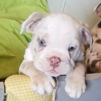 English Bulldog Puppies for sale in Lemon Grove, CA 91945, USA. price: NA