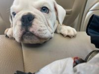English Bulldog Puppies for sale in Fresno, CA, USA. price: NA