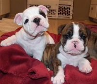 English Bulldog Puppies for sale in San Francisco, CA 94102, USA. price: NA