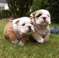 English Bulldog Puppies for sale in Council Bluffs, IA, USA. price: NA