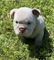 English Bulldog Puppies for sale in Winterville, NC, USA. price: NA
