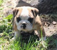 English Bulldog Puppies for sale in Staten Island, NY, USA. price: NA