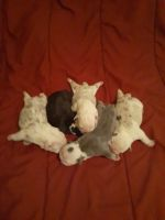 English Bulldog Puppies for sale in Milwaukee, WI, USA. price: NA
