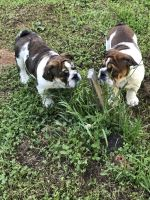English Bulldog Puppies for sale in Roseville, CA, USA. price: NA